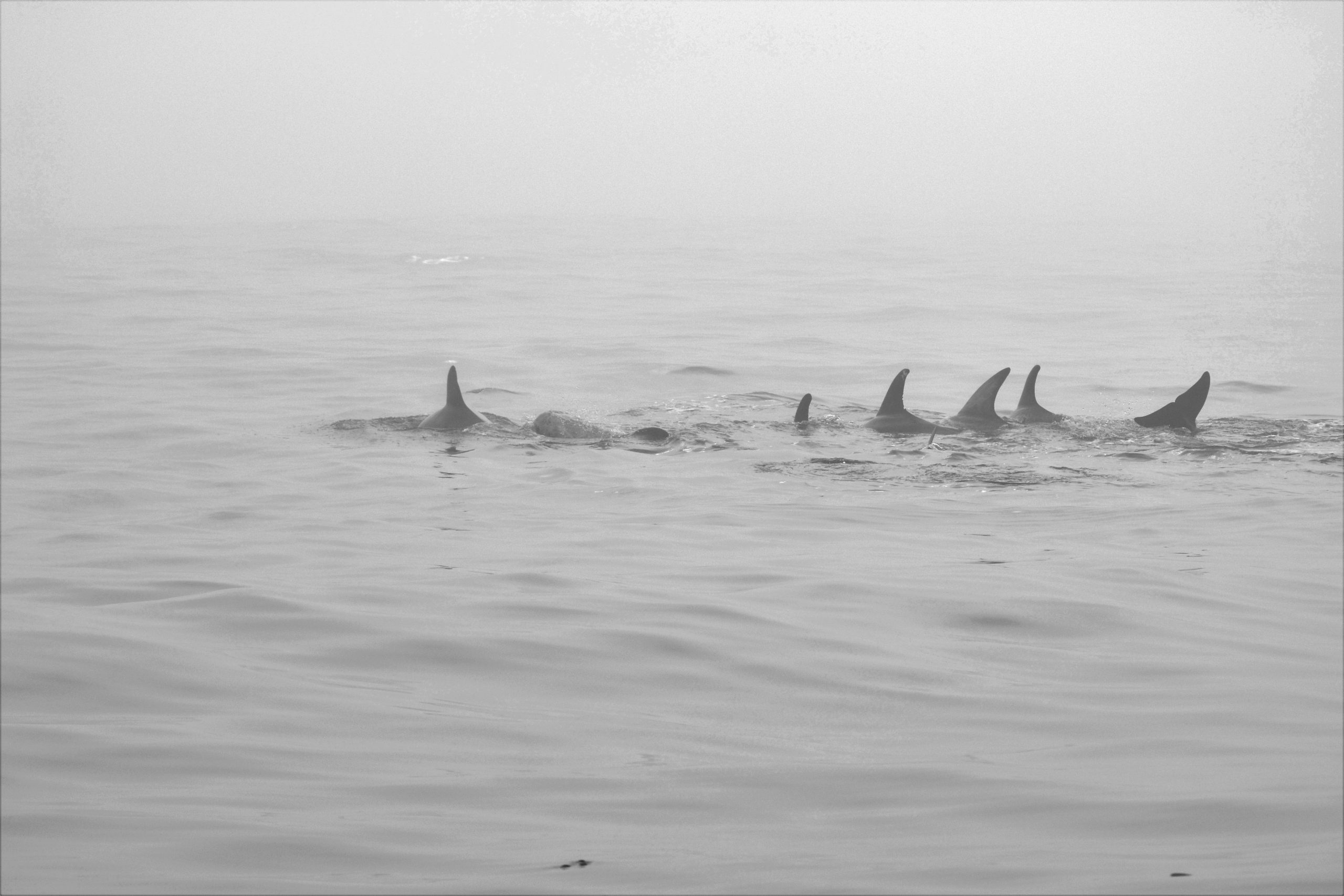 """Pod of Dolphins"" - photography, by Awais Riaz, M.D., Ph.D."